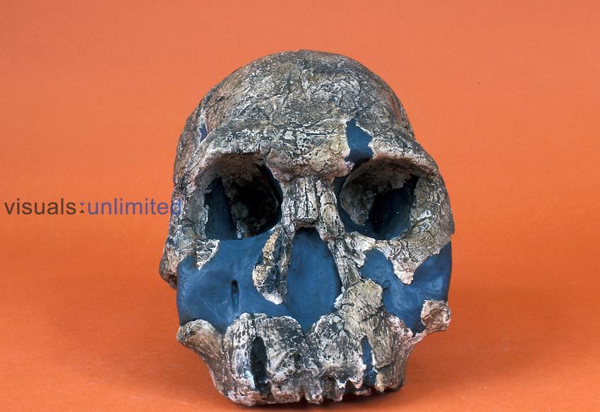 Homo habilis cranium, KMN-ER 1470