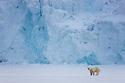 Norway, Svalbard, male polar bear crossing frozen fjord in front of glacier