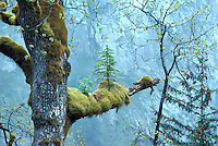 Nursing Tree - Coniferous Seedling growing out of Moss Covered Branch on Deciduous Tree, in Temperate Rainforest near Bella Coola, Cariboo Chilcotin Coast Region, BC, British Columbia, Canada