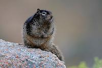 Rock Squirrel on granite uplift