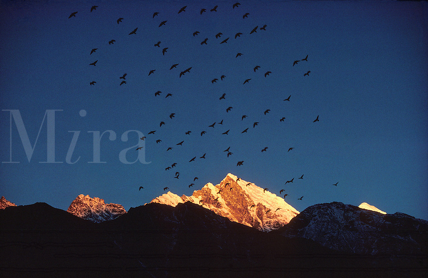 © David Paterson.Himalayan choughs fly at sunset over the peaks of Kongde Ri, Khumbu region, Nepal Himalaya...
