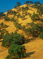 730850203 oak trees quercus species dot a hillside covered in golden shaded dead grasses in central california near the town of patterson