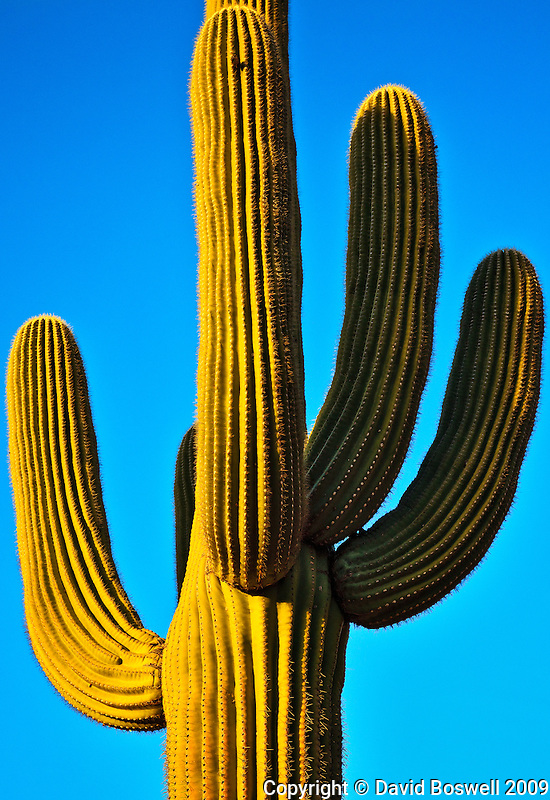 A saguaro glows in the light of the setting sun in Catalina State Park, north of Tucson, Arizona.