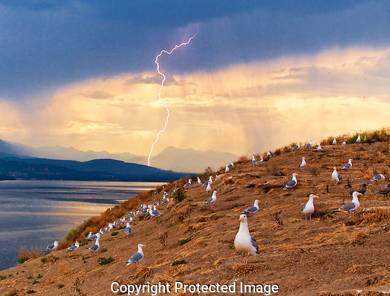 Lightening flashes over the Olympic Mountain as seen from a seagull rookery on Protection Island in Discovery Bay near Port Townsend, Washington on Sunday.