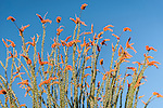 Tucson, Arizona; a large Ocotillo (Fonquieria splendens) cactus with green leaves and red flowers in early morning sunlight against a blue sky
