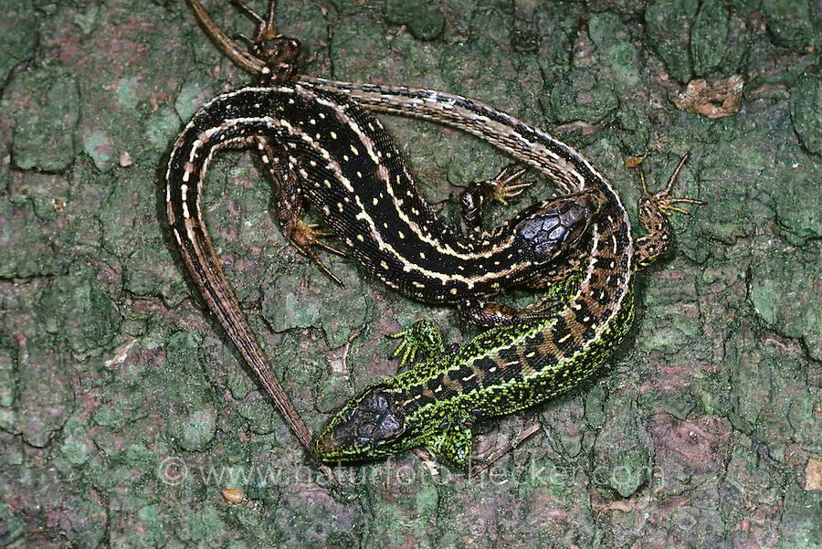 Zauneidechse, Zaun-Eidechse, Paar, Pärchen, Männchen und Weibchen, Lacerta agilis, sand lizard
