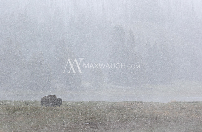 A bison in a snowstorm near Mary Bay.