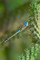 339360058v a wild male blue-eyed darner rhionaeschna multicolor perches on a cactus stem in las cienegas state natural area santa cruz county arizona united states