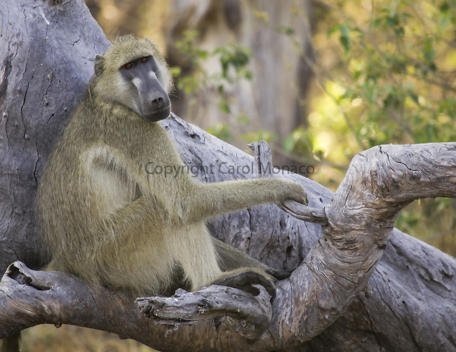 Baboon sitting in a tree in Botswana, Africa