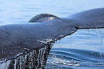 . Every winter Humpback whales migrate to the Bay of Banderas Mexico to give birth to their calves and gain extra  blubber and strength , before migrating north to feeding grounds.