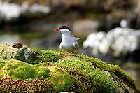 Antarctic Tern on Campbell Island