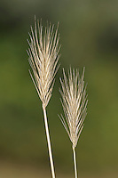 SEA BARLEY Hordeum marinum. Height to 5cm<br /> Tufted, blue-green annual of bare ground and dry, grassy places near the sea. FLOWERS are borne in long, unbranched spikes, 7-8cm long, the spikelets in 3s, with stiff, spreading awns (Jul-Aug); flowering stems are prostrate at base. FRUITS are small, dry nutlets. LEAVES are 4-5mm wide. STATUS-Local and exclusively coastal.