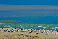 Gulls on sandy shoreline of Lake Ontario<br />Presqu'ile Provincial Park<br />Ontario<br />Canada