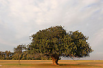 Israel, the northern Negev. Carob tree by the Besor route