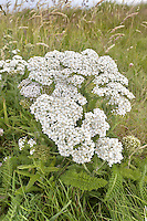 Yarrow - Achillea millefolium (Asteraceae) Height to 50cm<br /> Upright, downy perennial with creeping stems and upright, unbranched and furrowed flowering stalks. The whole plant is strongly aromatic. Grows in meadows, verges and hedgerows, and on waste ground. FLOWERS are borne in heads, 4-6mm across, comprising yellowish disc florets and pinkish white ray florets; the heads are arranged in flat-topped clusters (Jun-Nov). FRUITS are achenes. LEAVES are dark green, finely divided and feathery.