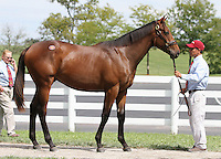 Hip #93 Dynaformer - Global Finance colt at the  Keeneland September Yearling Sale.  September 9, 2012.