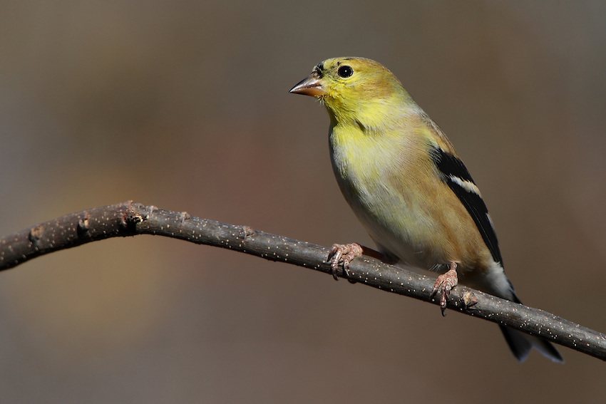 American Goldfinch in winter plumage.