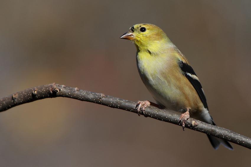 American Goldfinch in winter plumage.