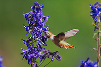 Rufous Hummingbird, Selasphorus rufus,female in flight drinking from Tall Larkspur,Delphinium barbeyi, Ouray, San Juan Mountains, Rocky Mountains, Colorado, USA