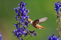 Rufous Hummingbird, Selasphorus rufus,female in flight drinking from Tall Larkspur,Delphinium barbeyi, Ouray, San Juan Mountains, Rocky Mountains, Colorado, USA