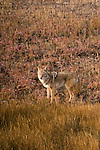 coyote, Canis latrans, wildlife, canine, fall, color, near Beaver Point, animal, Estes Park, Colorado, Rocky Mountains, USA