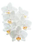 Brussels-Belgium - June 02, 2016 -- Blossoms of an orchid -- Photo: © HorstWagner.eu