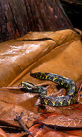 489144005 a captive adult central african rhino viper bitis nasiconris lays in leaf litter and senses its environment