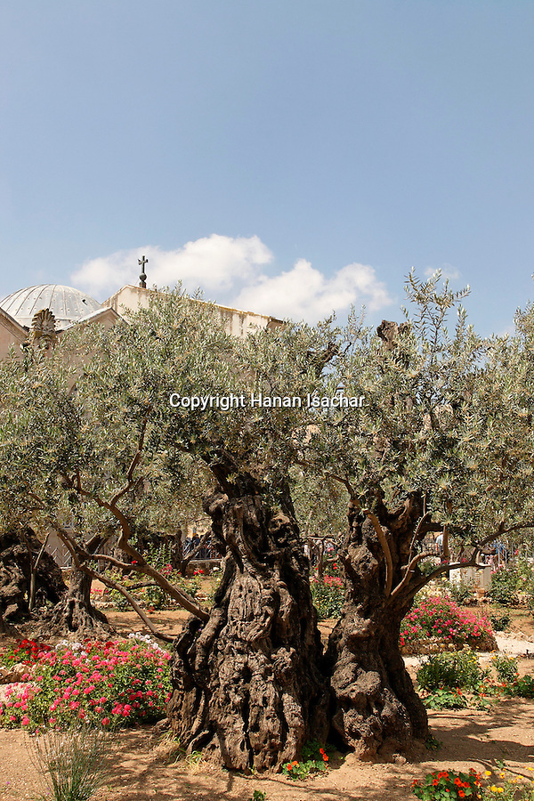 Israel, Jerusalem, An Ancient olive tree at the Garden of Gethsemane at the foot of the Mount of Olives, behind is the Church of all Nations or the Basilica of the Agony<br />
