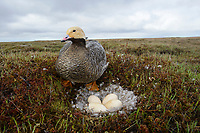 Female Emperor Goose (Chen canagica) at its nest about to sit on eggs. Yukon Delta, Alaska. June.