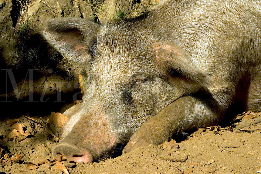 Corsica. France. Domestic pig crossed with wild sanglier/wild boar.