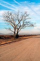 DESERT FLORA<br /> Dead Cottonwood Tree In Sonoran Desert<br /> Phoenix, AZ