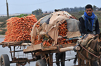 Farmer transporting carrots