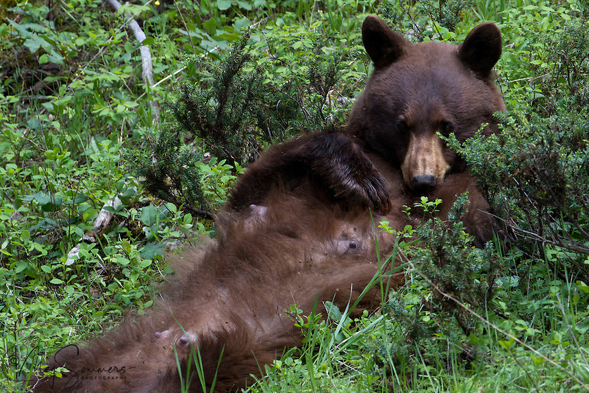 This American black bear (Ursus americanus) mom or sow had two small cubs sleeping in a tree above her. She was inviting them to lunch, but they didn't wake up and come down - at least for a while.