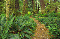 Trail in Old growth temperate rain forest<br /> Carmanah-Walbran Provincial Park<br /> British Columbia<br /> Canada