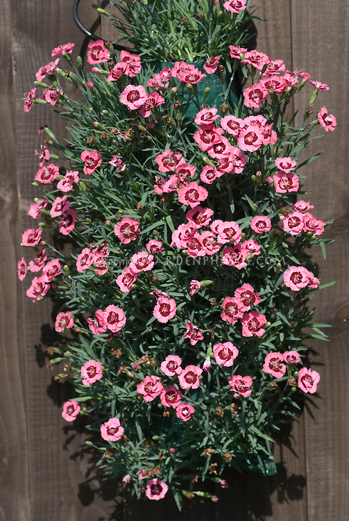 Dianthus 'Evening Star' in hanging flower pouch