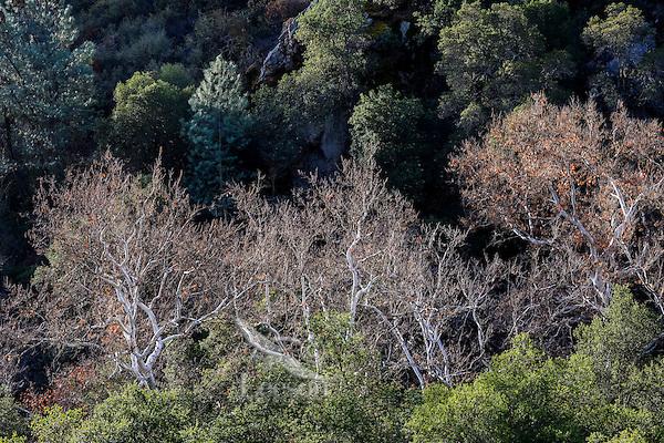 Western Sycamore or California Sycamore (Platanus racemosa) trees--white bark.  Pinnacles National Park, CA.  February.