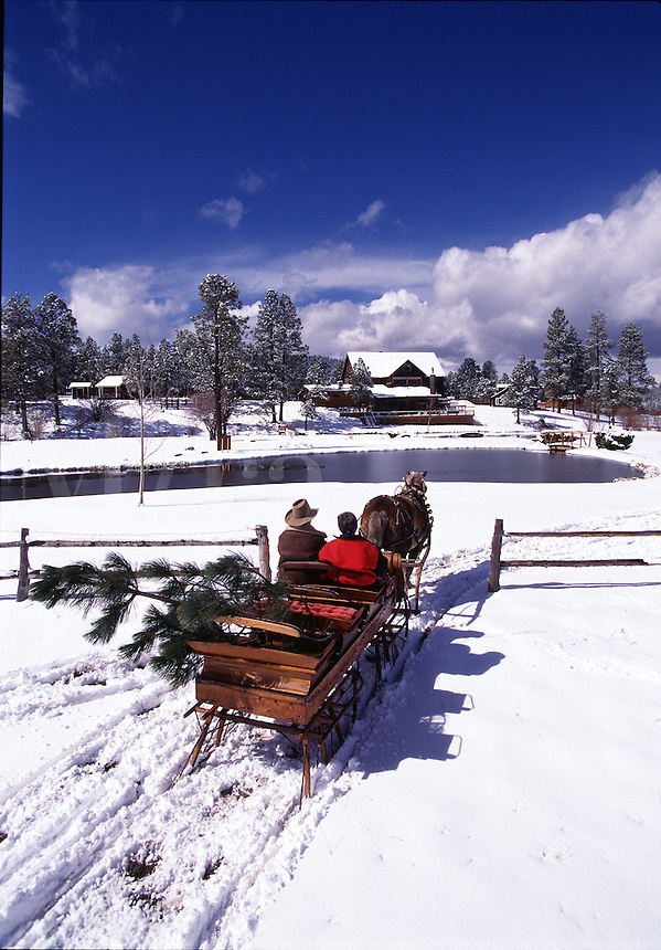 A one horse open sleigh carries a Christmas tree over a snow-covered pasture.