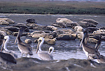 Harbor seals and brown pelicans at Elkhorn Slough