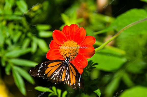 A Black-veined Tiger butterfly (Danaus melanippus) feeding on an orange flower. (Cambodia)