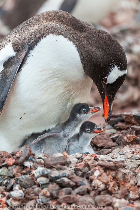 Gentoo penguin adult and two chicks at the colony on Cuverville Island, western Antarctic peninsula.