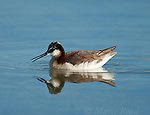 Wilson's Phalarope () feeding while swimming, Mono Lake, California, USA