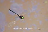 06548-002.09 Mocha Emerald (Somatochlora linearis) male in flight along stream, Clay Co, IL