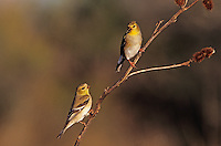 American Goldfinch, Carduelis tristis, adults winter plumage, Welder Wildlife Refuge, Sinton, Texas, USA, March 2005