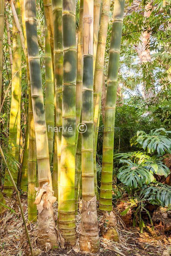 France, Alpes-Maritimes (06), Saint-Jean-Cap-Ferrat, le jardin botanique des C&egrave;dres:<br /> dans la &quot;jungle&quot;, bambou g&eacute;ant = Dendrocalamus asper.