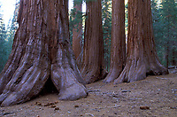 Sequoia Trees Yosemite