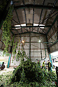 05/09/14 <br /> <br /> After being unloaded from the tractor and trailer the hop bines are attached to the Bruff hop picking machine <br /> <br /> Thanks to ideal growing conditions over the summer, Britain's hop harvest is set to be a bumper crop.<br /> <br /> Picking stopped early yesterday at Stocks Farm, Worcestershire, as the 'Heath Robinson' style 1962 Bruff hop picking machine was overwhelmed by the volume of hops coming in from the 100 acres of hops the farm grows.<br /> <br /> The golding hops are the first to picked this year from the bines that are strung up on a total of 550 miles of twine that stretch across the farmland near the Malvern Hills. &quot;That's enough to make 46m pints of craft ale&quot; said farmer and hop expert Ali Capper.<br /> <br /> The farm grows a variety of hops supplying national brewers including Fullers, Greene King, St Austell and Marston's, and hundreds of craft breweries and brewers in the UK and USA.<br /> <br /> &quot;We've had perfect growing conditions this year, a lovely warm summer and even rainfall. The whole crop is looking wonderful and the aromas are much better than last year,<br /> <br /> &quot;It should be a bumper crop - but we can't be sure until it's all in&quot;<br /> <br /> &quot;The demand from small brewers is rising each year&quot; added Ali<br /> <br /> &quot;This year we'll be selling 100 gram bags for home brewers too - that's enough to brew at least 20 pints. <br /> <br /> In 2013 almost half of all British hops were exported to to the USA - and this figure is still rising&quot; she said.<br /> <br /> All Rights Reserved - F Stop Press.  www.fstoppress.com. Tel: +44 (0)1335 300098