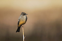 Say's Phoebe (Sayornis saya),adult, Bosque del Apache National Wildlife Refuge , New Mexico, USA