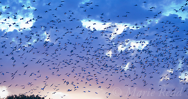 Flock of White Ibis (Eudocimus albus) in breeding plumage, flying to roost as the sun goes down, Tampa Bay, Florida, USA