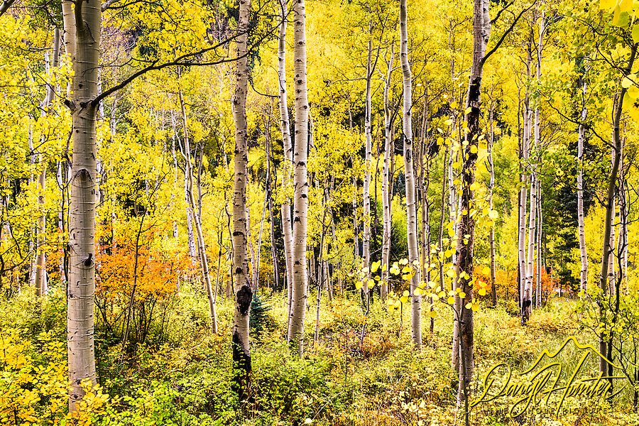 A golden aspen forest in Telluride Colorado.