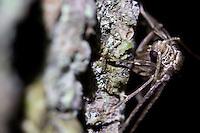 Male winter moth on oak trunk. Surrey, UK.